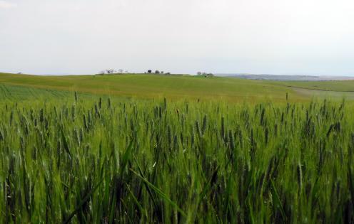 Campi di grano / Wheat fields