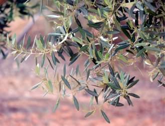 L'ulivo / Olive tree
