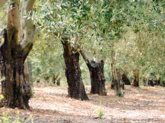 Fra gli ulivi / Walking in the olive grove